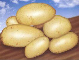 Загадка про картошку