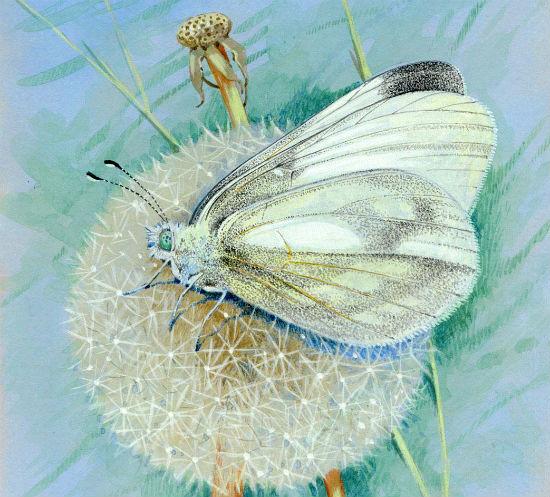 Бабочка и одуванчик